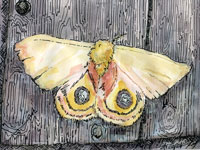 ©Erica Dale Strzepek, Io Moth. Ink & Watercolor